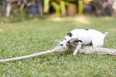 与绳索玩具的健康和愉快的白色狗戏剧猛拉在绿草 免版税库存图片