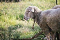 与绳索的在脖子凝视惶惑入照相机的哀伤的肮脏的白羊侧视图  与植被的草地 库存图片