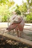 与绳索的芋头水牛在鼻子, 库存图片