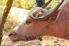 与绳索的芋头水牛在鼻子, 库存照片