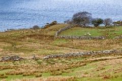 与绵羊、湖和植被的农田在港湾Corrib的西部方式足迹 免版税图库摄影