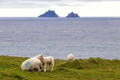 与绵羊的羊羔 库存图片