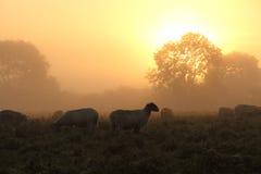 与绵羊的美好的农村日落 免版税库存照片