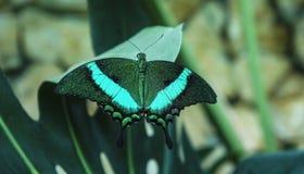 与绿宝石的黑色镶边蝴蝶Papilio海螯虾 免版税库存图片