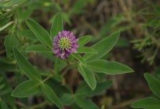 与绿色三叶草的淡紫色三叶草花 图库摄影
