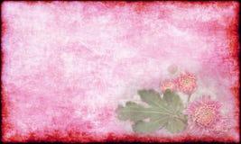 与绿色叶子假日卡片的葡萄酒美丽的桃红色菊花在老桃红色纸背景 免版税库存照片