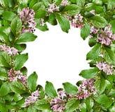 与绿色叶子和淡紫色花的春天框架 免版税库存图片