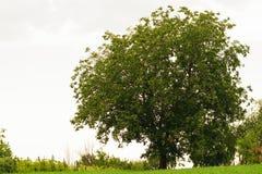 与绿色叶子和清楚的天空背景的大核桃树 库存图片
