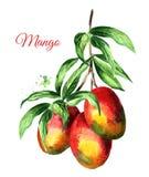 与绿色叶子和芒果的芒果分支结果实 在白色背景隔绝的水彩手拉的例证 皇族释放例证