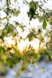 与绿色叶子和莓果的树枝在秋天日落 在莓果的焦点 自然美好的迷离bokeh 免版税库存照片