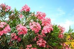 与绿色叶子在背景中和蓝天的夹竹桃花与云彩 免版税库存图片
