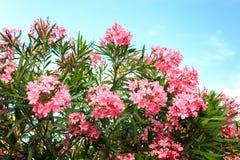 与绿色叶子在背景中和蓝天的夹竹桃花与云彩 免版税库存照片
