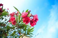 与绿色叶子在背景中和蓝天的夹竹桃花与云彩 库存照片