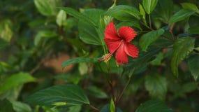 与绿色叶子的一朵大美丽的红色花 库存图片