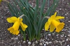 与绿色叶子的两个黄色黄水仙 免版税库存图片