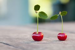 与绿色叶子的两2个红色樱桃莓果 成熟樱桃果子宏观视图照片 选择聚焦,浅景深 免版税库存图片