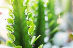 与绿色叶子的仙人掌 免版税库存照片