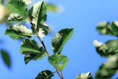 与绿色叶子的分支反对蓝天,唤醒自然,春天来临 免版税库存图片