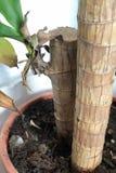 与绿色叶子的国内植物树干 免版税库存照片