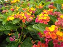 与绿色叶子的彩虹马樱丹属 免版税库存照片