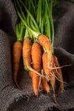 与绿色叶子的新近地被收获的有机成熟红萝卜在老 库存照片