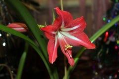 与绿色叶子的明亮的红色白花 免版税库存图片
