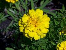 与绿色叶子的明亮的黄色万寿菊 库存照片