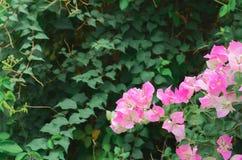 与绿色叶子的桃红色九重葛花 免版税库存图片