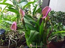 与绿色叶子的桃红色复活节百合 库存图片