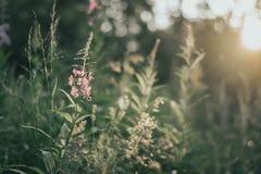 与绿色叶子的桃红色花在日落乡下领域自然软狂放的Bokeh 免版税库存图片