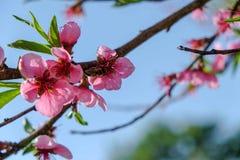 与绿色叶子的桃红色花 库存照片
