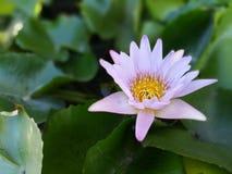 与绿色叶子的桃红色莲花 免版税库存图片