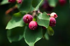 与绿色叶子的桃红色Crabapple果子 免版税库存图片