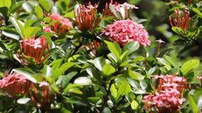 与绿色叶子的桃红色ixora花 股票视频