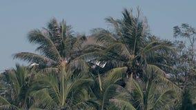 与绿色叶子的棕榈树反对天空蔚蓝慢动作 股票视频