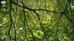 与绿色叶子的槭树分支 巨大的多枝树 对宽槭树分支的看法 股票视频