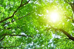 与绿色叶子的橡树分支在天空蔚蓝和明亮的太阳光背景,夏天好日子自然风景 库存照片