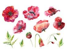 与绿色叶子的水彩红色鸦片 创造的设计或样式元素 图库摄影