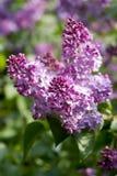 与绿色叶子的淡紫色花在晴朗的春天da 库存照片