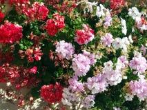与绿色叶子的白色,红色和桃红色花 图库摄影