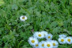 与绿色叶子的白花 免版税库存照片