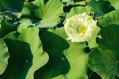 与绿色叶子的空白莲花 库存照片