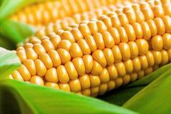与绿色叶子的粗暴黄色玉米 免版税库存图片