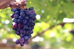 与绿色叶子的紫色红葡萄在葡萄栽培在葡萄园里 库存照片