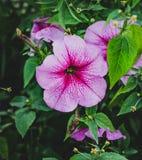 与绿色叶子的紫色花喇叭花 免版税图库摄影