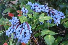 与绿色叶子的紫色霍莉莓果束 库存照片