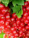 与绿色叶子的红浆果在灌木 图库摄影