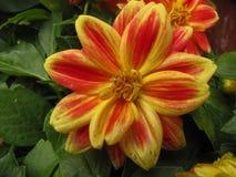与绿色叶子的红色和黄色百日菊属 免版税库存照片