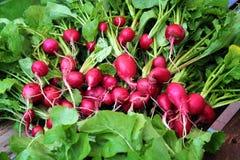 与绿色叶子的红色庭院萝卜 库存图片