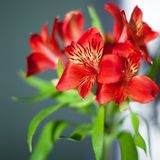 与绿色叶子的红色德国锥脚形酒杯花在灰色背景关闭,明亮的桃红色百合花束 免版税图库摄影
